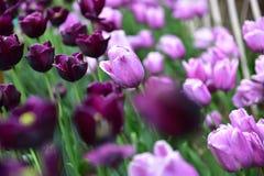紫色和黑郁金香 免版税库存照片