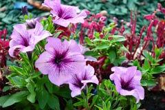 紫色喇叭花开花与绿色叶子的特写镜头 免版税图库摄影
