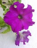 紫色喇叭花花在一个夏日 库存照片