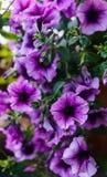 紫色喇叭花花束在花盆的 免版税库存照片