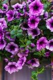 紫色喇叭花花束在花盆的 库存照片