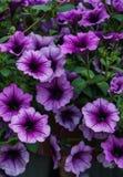 紫色喇叭花花束在花盆的 免版税图库摄影