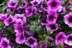 紫色喇叭花花束在花盆的 库存图片