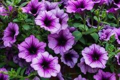 紫色喇叭花花束在花盆的 免版税库存图片
