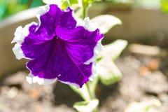 紫色喇叭花花 图库摄影