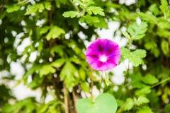 紫色喇叭花花 库存照片