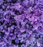 紫色四季不断的翠菊种类,秋天花  免版税库存图片
