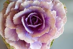 紫色圆白菜花接近看法 免版税库存照片