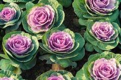 紫色圆白菜花 免版税库存照片