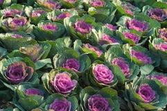 紫色圆白菜花 库存图片