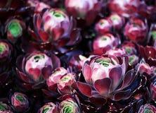 紫色圆白菜 免版税库存图片