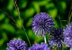 紫色圆的花 免版税图库摄影