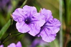 紫色墨西哥喇叭花 免版税库存照片