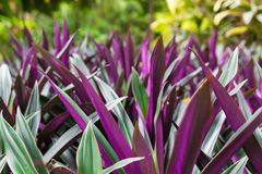 紫色夏天在绿草被弄脏的背景开花  紫罗兰色颜色海索草  Hyssopus officinalis 库存图片