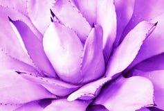 紫色多汁特写镜头,顶视图,minimalistic时髦背景 定调子 图库摄影