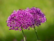 紫色大象大蒜-葱属ampeloprasum 库存图片
