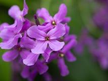 紫色山茱萸花开花 免版税库存照片