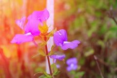 紫色巴西snapdragon美丽的水花和滴与日落的点燃口气 库存照片
