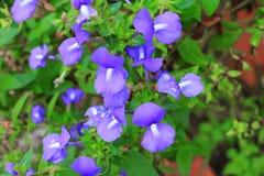 紫色巴西snapdragon美丽的水花和滴  免版税库存照片