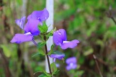 紫色巴西snapdragon美丽的花和水滴下 免版税库存照片