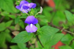 紫色巴西snapdragon美丽的花, Otacanthus caeruleus Lindl,蓝色夏威夷灌木 免版税库存图片