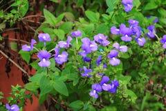紫色巴西snapdragon美丽的花, Otacanthus caeruleus Lindl,蓝色夏威夷灌木 库存图片