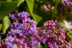 紫色年轻丁香 免版税库存图片