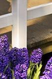 紫色庭院的风信花 库存图片