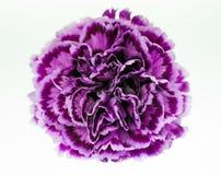 紫色康乃馨特写镜头 免版税库存照片