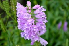 紫色开花的狂放的兰花特写镜头 免版税库存图片