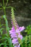 紫色开花的野生兰花 库存照片