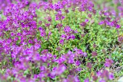 紫色开花的麝香草 库存图片