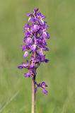 紫色早mascula兰花的orchis 免版税库存图片