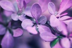 紫色春天叶子 免版税库存照片