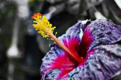 紫色木槿花 免版税图库摄影