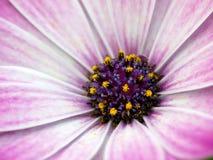 紫色核心 库存照片