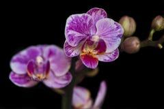 紫色桃红色兰花 库存图片
