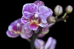 紫色桃红色兰花 免版税库存照片