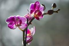紫色桃红色兰花 免版税图库摄影