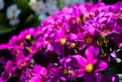 紫色樱草属在庭院里 库存图片