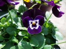 紫色欢欣花宇宙 免版税库存图片