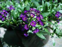 紫色欢欣软的春天庭院 免版税库存照片