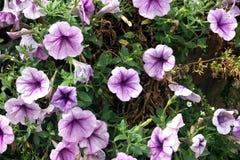 紫色波浪喇叭花在庭院里 免版税库存照片