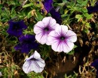 紫色波浪喇叭花在庭院里 免版税图库摄影