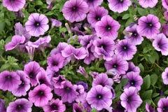 紫色波浪喇叭花,剧烈的黑暗的中心 库存照片