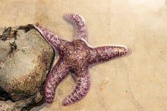 紫色海星 免版税图库摄影