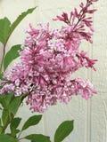 紫色淡紫色开花在春天 库存照片