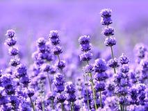 紫色淡紫色领域 免版税库存照片