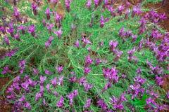 紫色淡紫色,熏衣草属Angustifolia,亦称共同,真实的淡紫色花绽放 库存图片