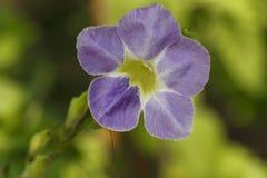 紫色爬行毛地黄属植物或中国紫罗兰色花在庭院里 免版税库存照片